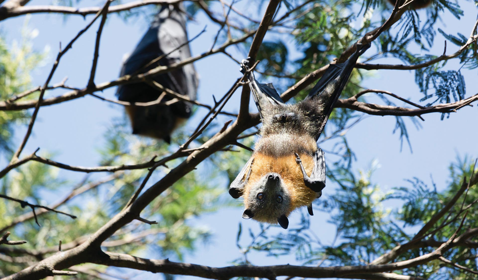 Up close and personal with a Grey Headed Flying Fox in Yarra Bend Park.