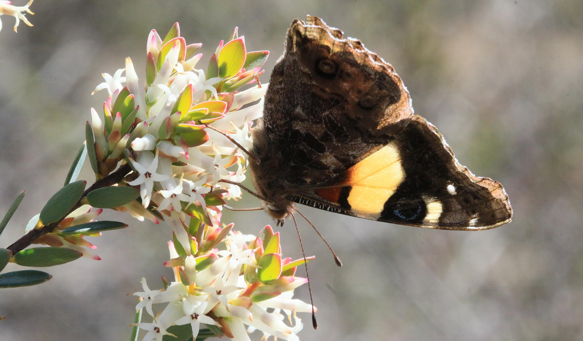 A yellow admiral butterfly flies into a daphne heath flower