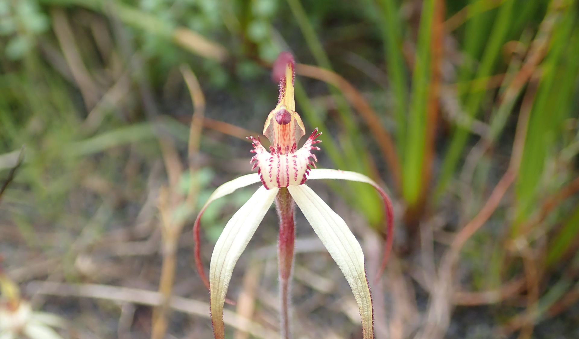 A picture of an Orchid taken in the Wonthaggi section of Yallock Bulluk Marine and Coastal Park