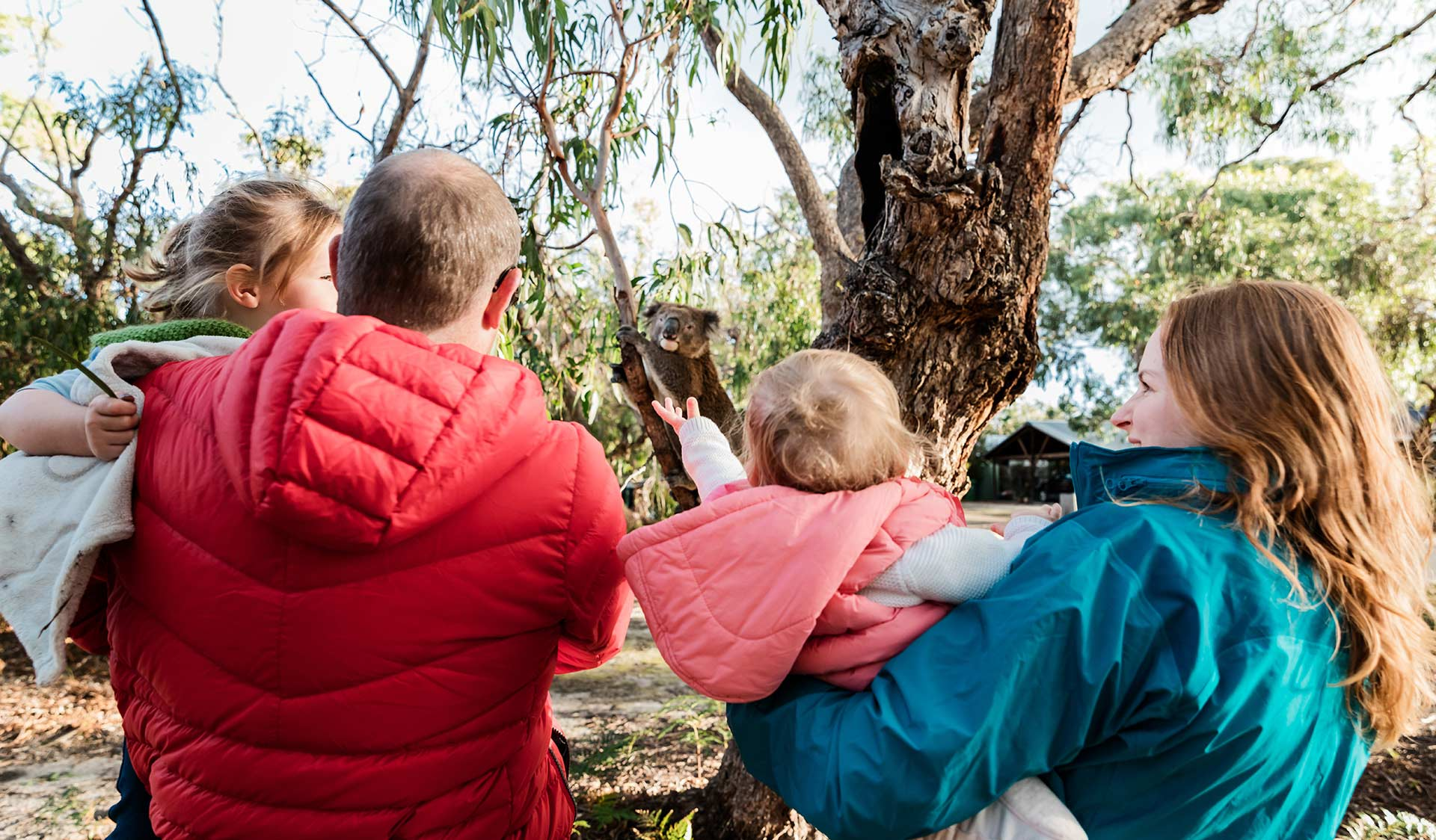A family of four including two children under three come across a Koala low in a tree on Raymond Island