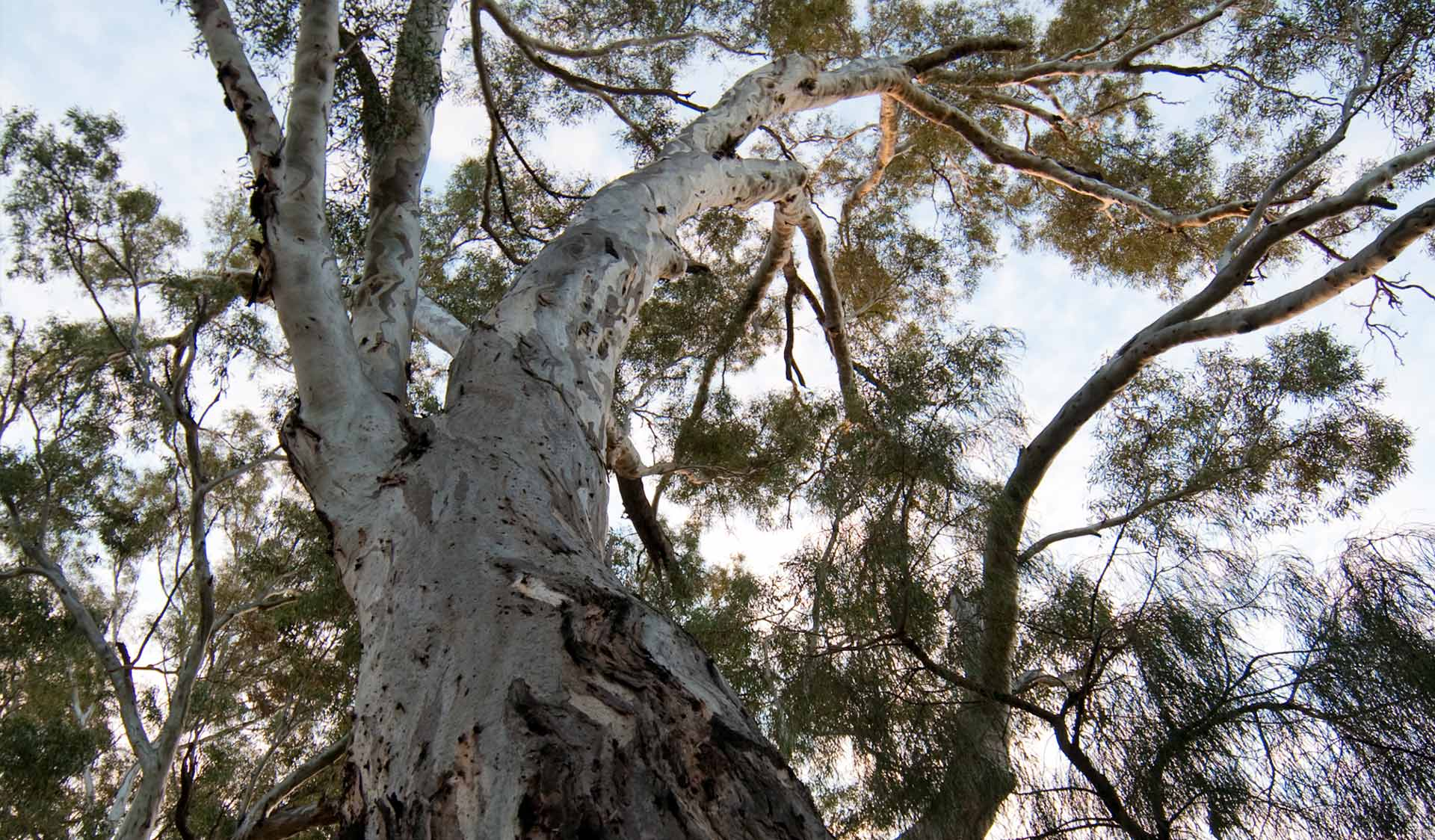 Photo looking up at a gum tree