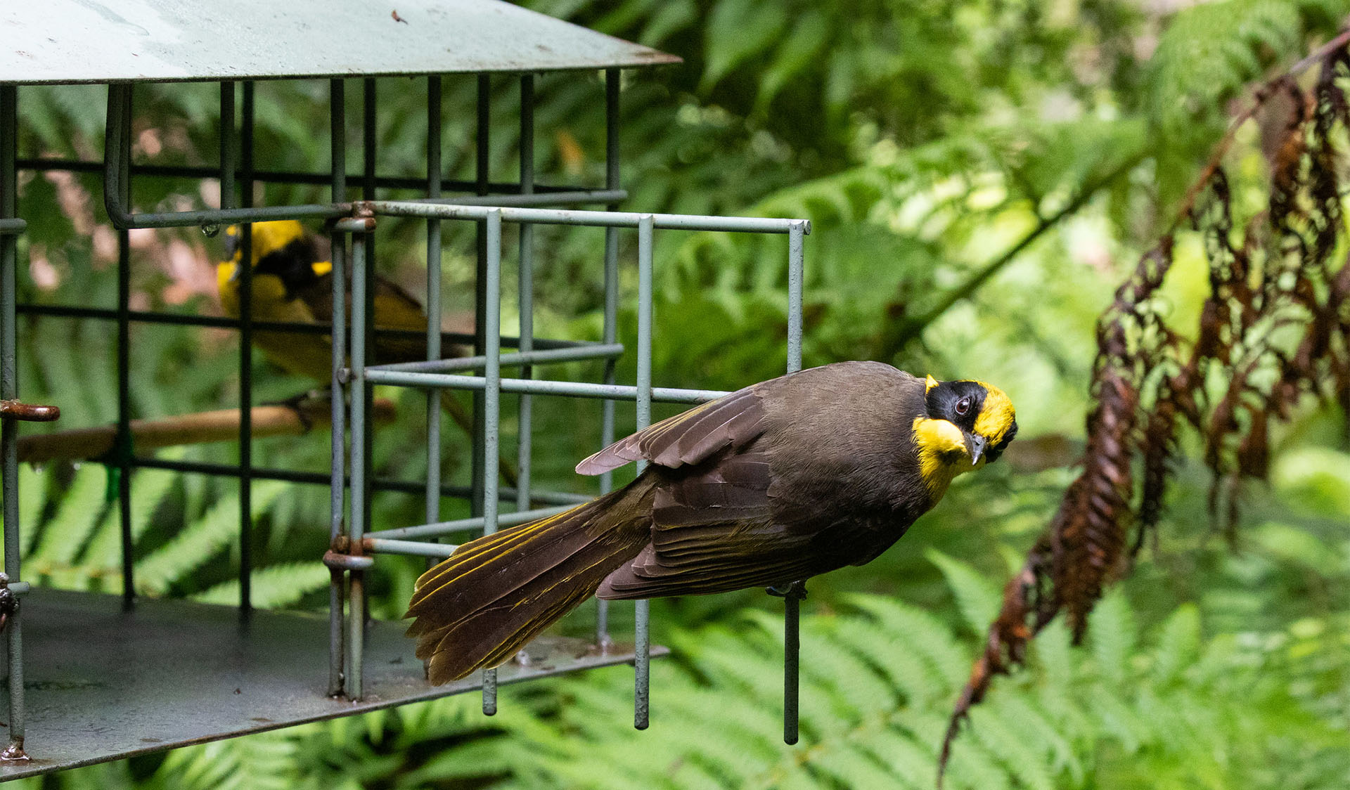 Helmeted Honeyeater at feeding station (photo credit: Marcia Riederer)