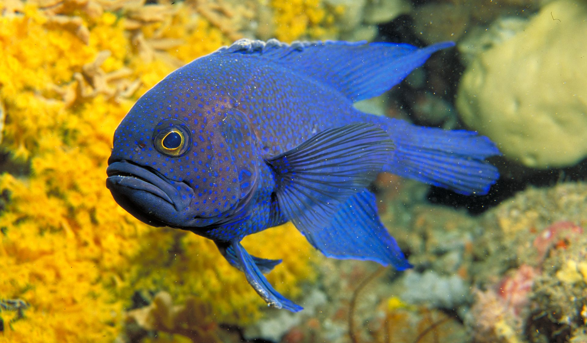 A blue devil fish pictured in front of some yellow coral.