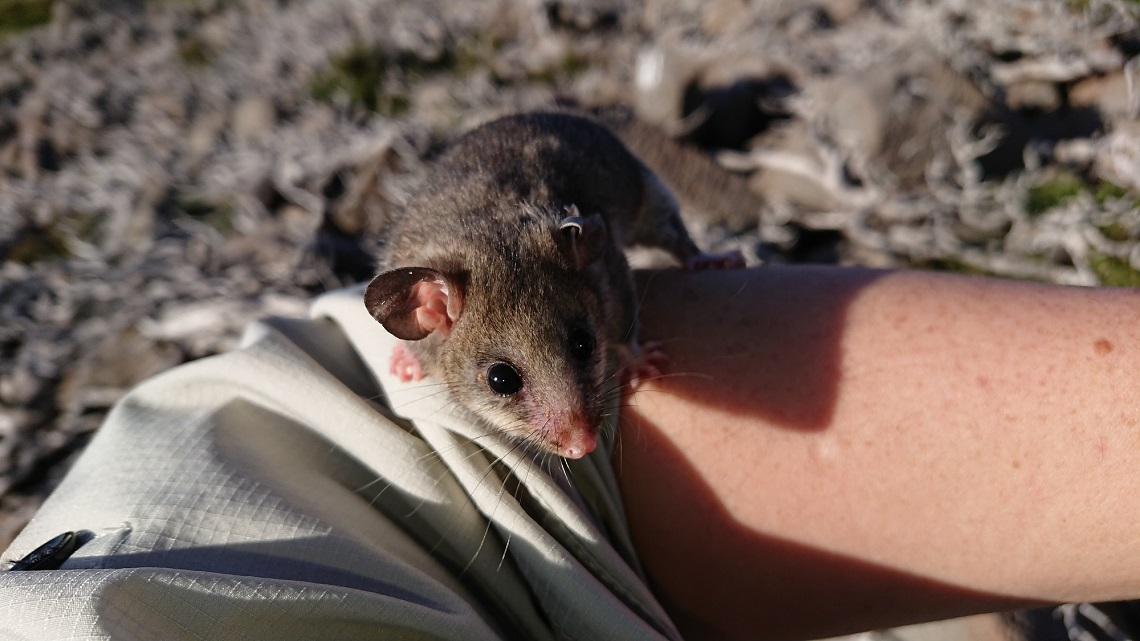 Mountain Pygmy Possum on a person's arm
