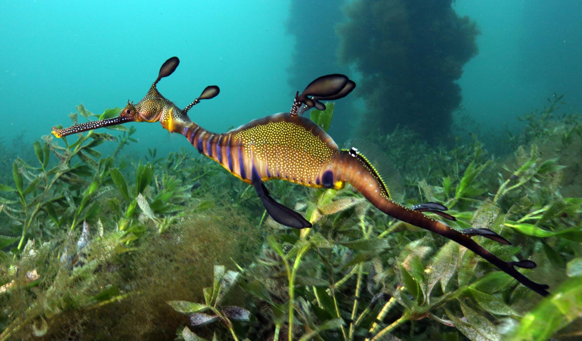 A Weedy Seadragon swims above the seaweed-covered seabed in Western Port.