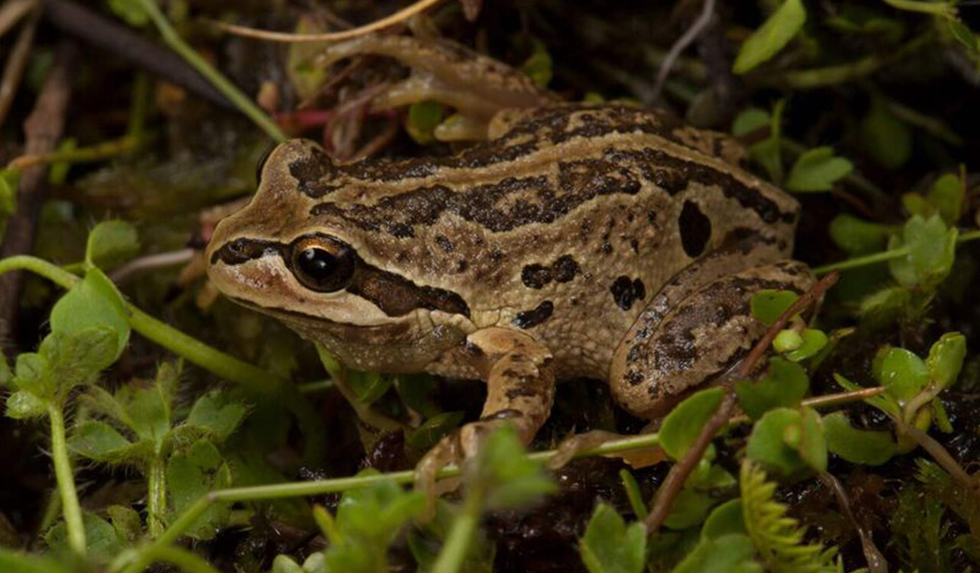 Close up of Alpine Tree Frog