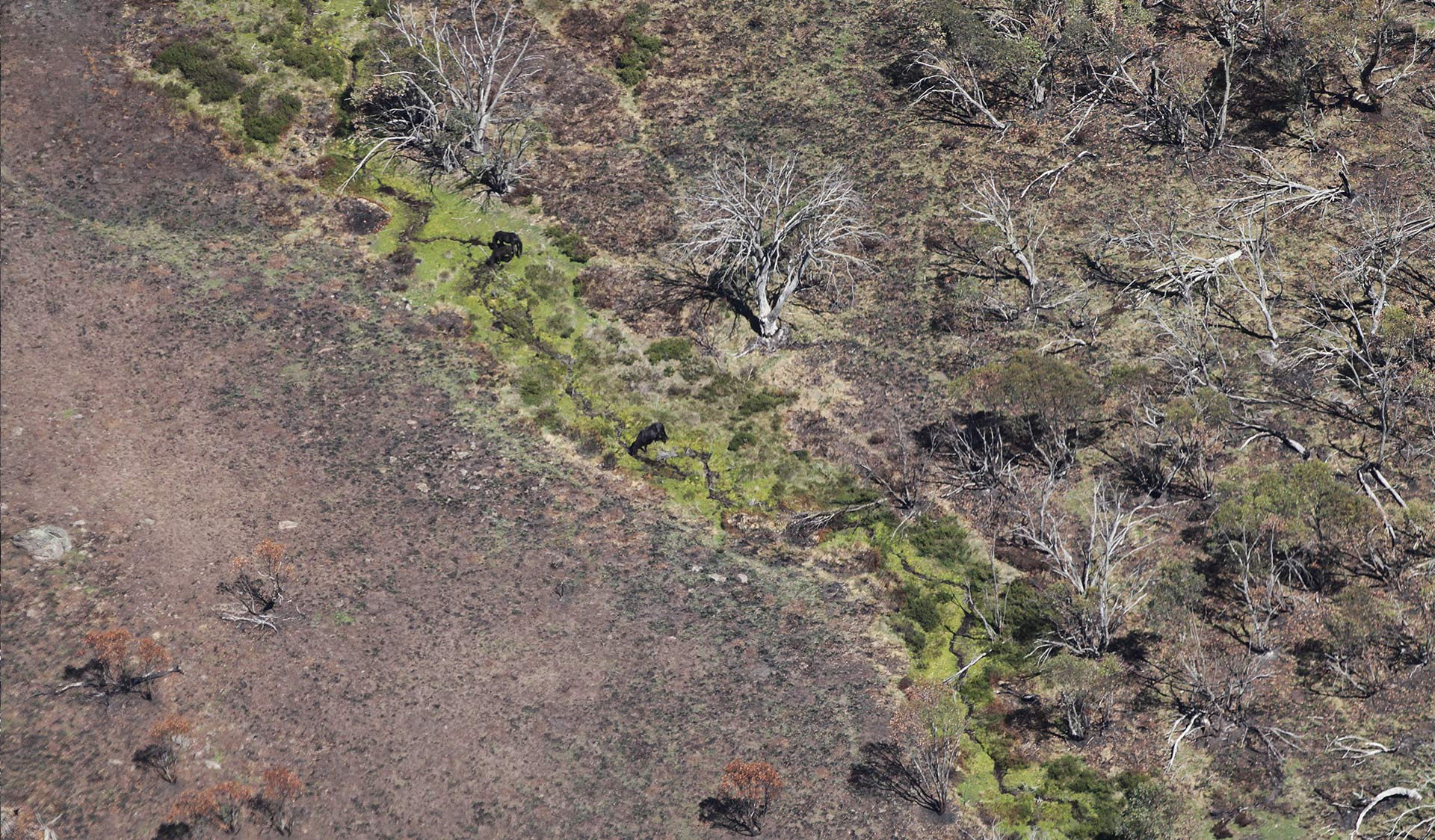 Feral horses in waterways on bushfire-affected landscape, Alpine National Park