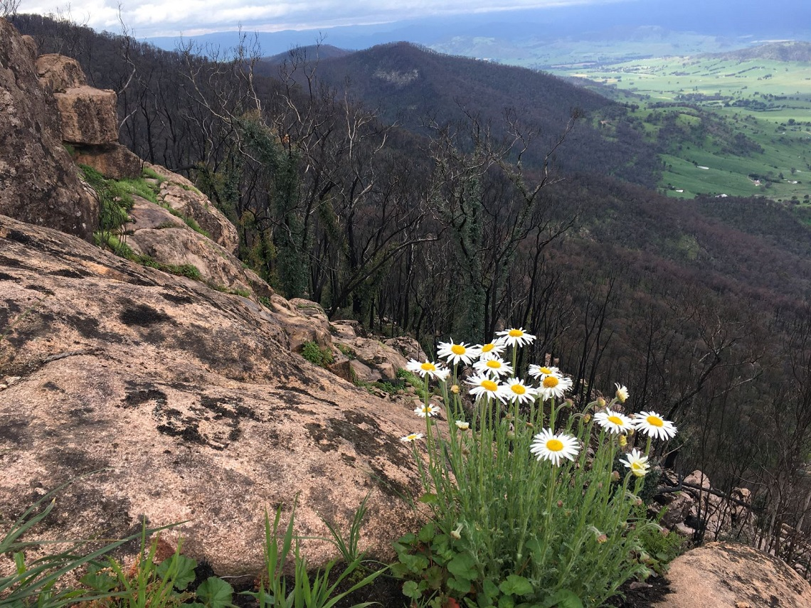 Dasies growing on a granite boulder overlooking burnt landscape of the Upper Murray, October 2020