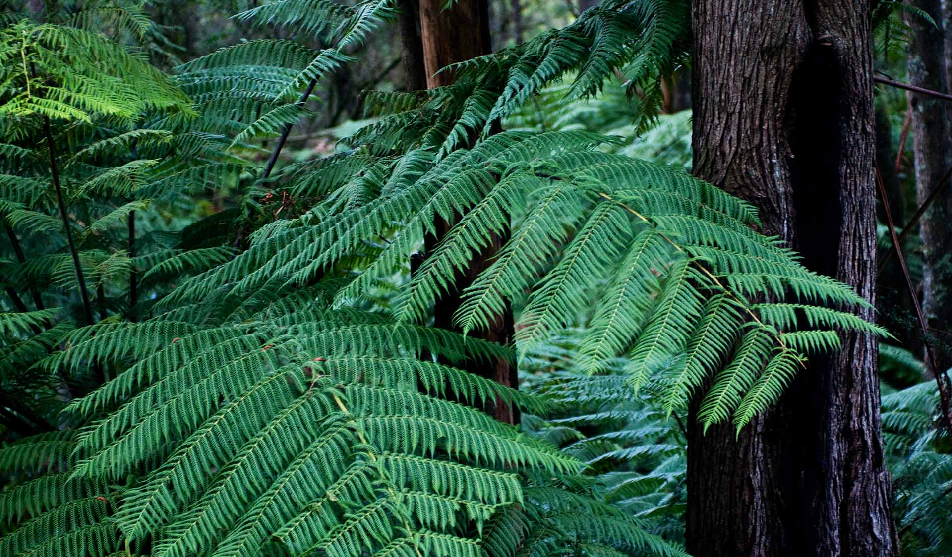 Ferns in the Yarra Ranges National Park.
