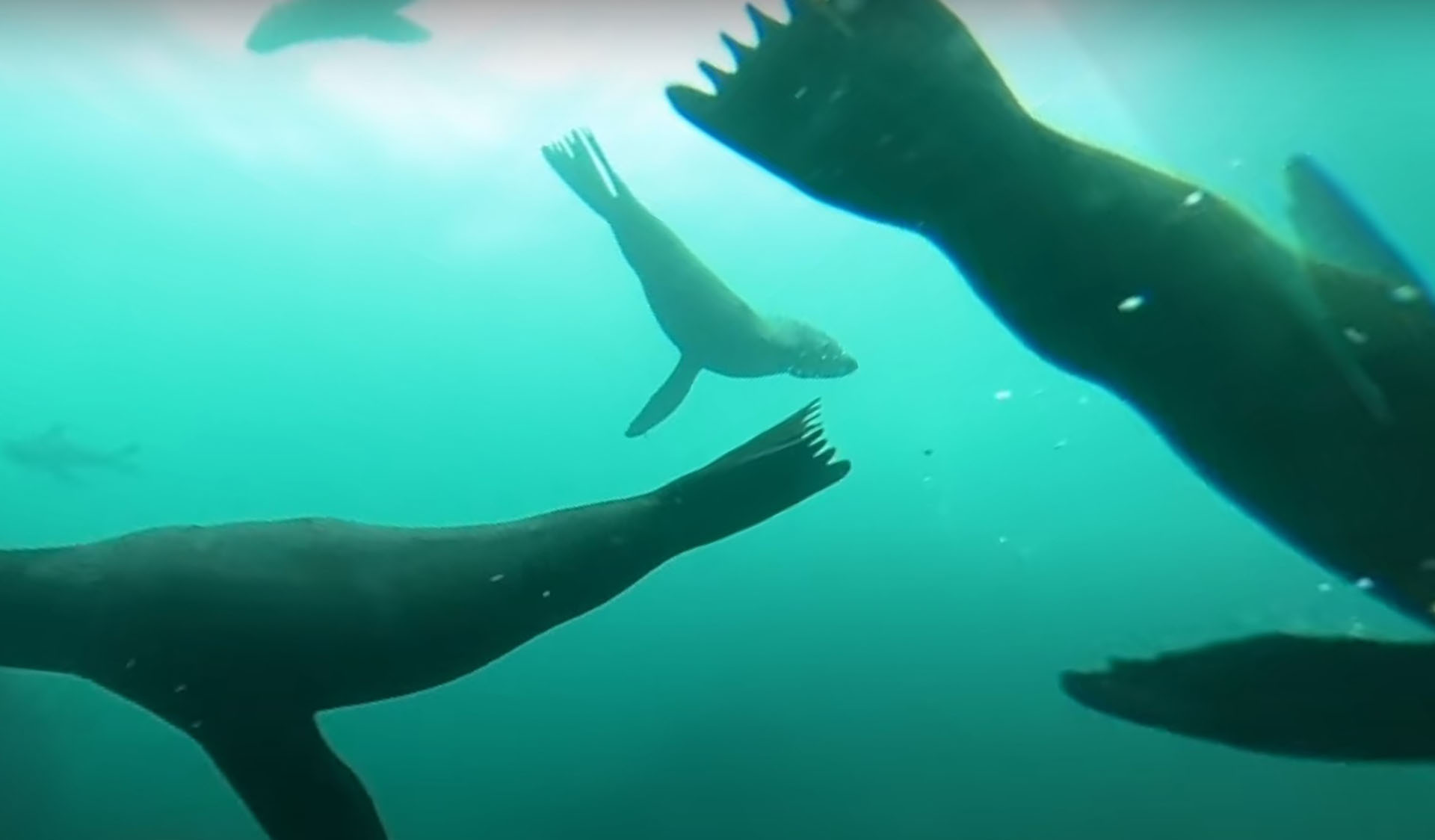 Still image from Diving with Long-nosed Fur Seals at Gabo Island 360 video part 2 video.